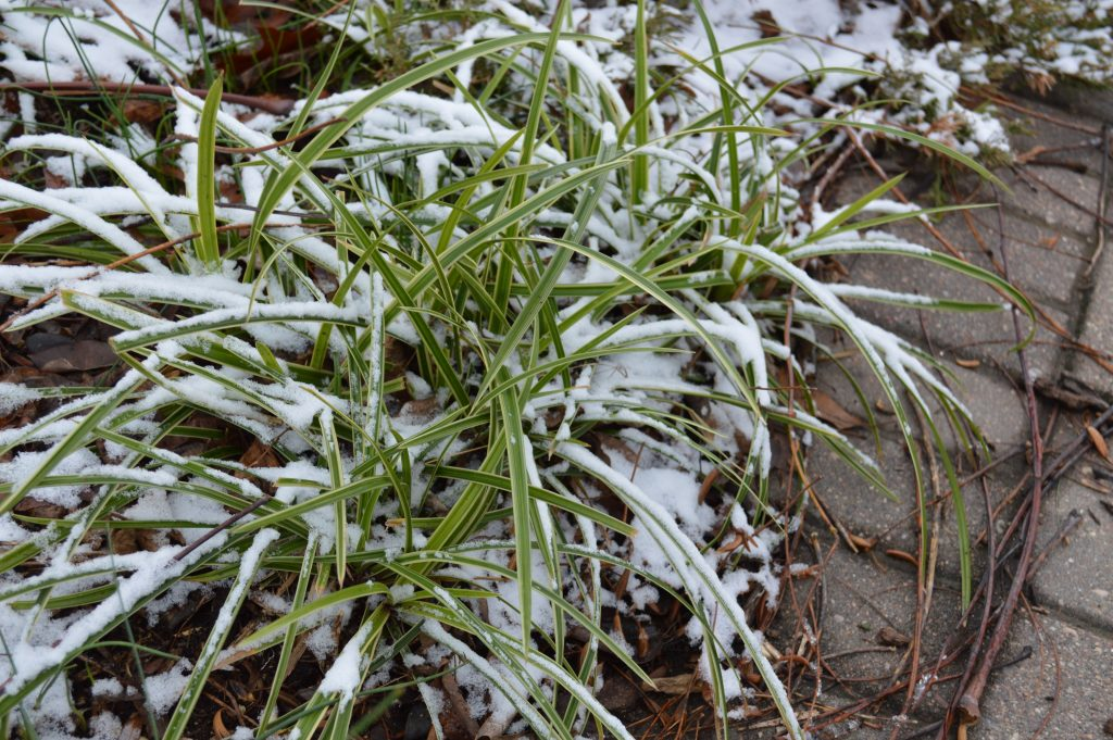 Wisconsin landscape winter salt tolerant plants